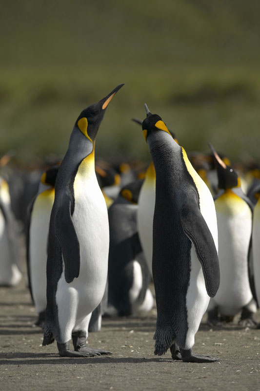 G159 - Two Standing Penguins